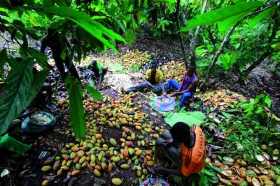 Image: cocoa production