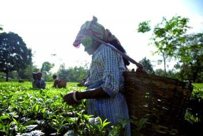 Image: Assam Tea Picker
