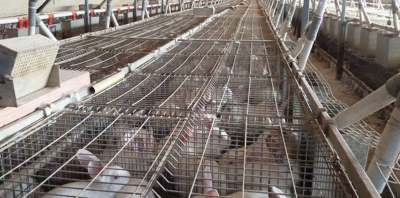 Image: rabbits in cages factory farming pet food dog food