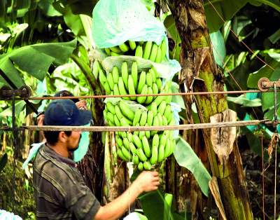 image: banana worker latin america