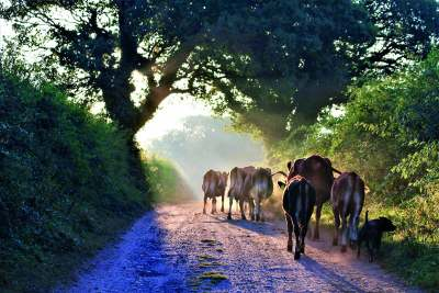 image: cows walking away ethical dairy