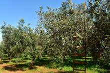 Image: olive trees in sun and blue skies