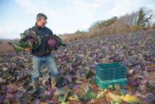 Image: guy singh watson riverford organic in a field of red cabbages