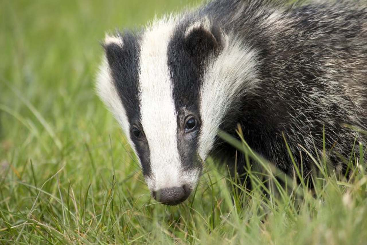 Image: badger