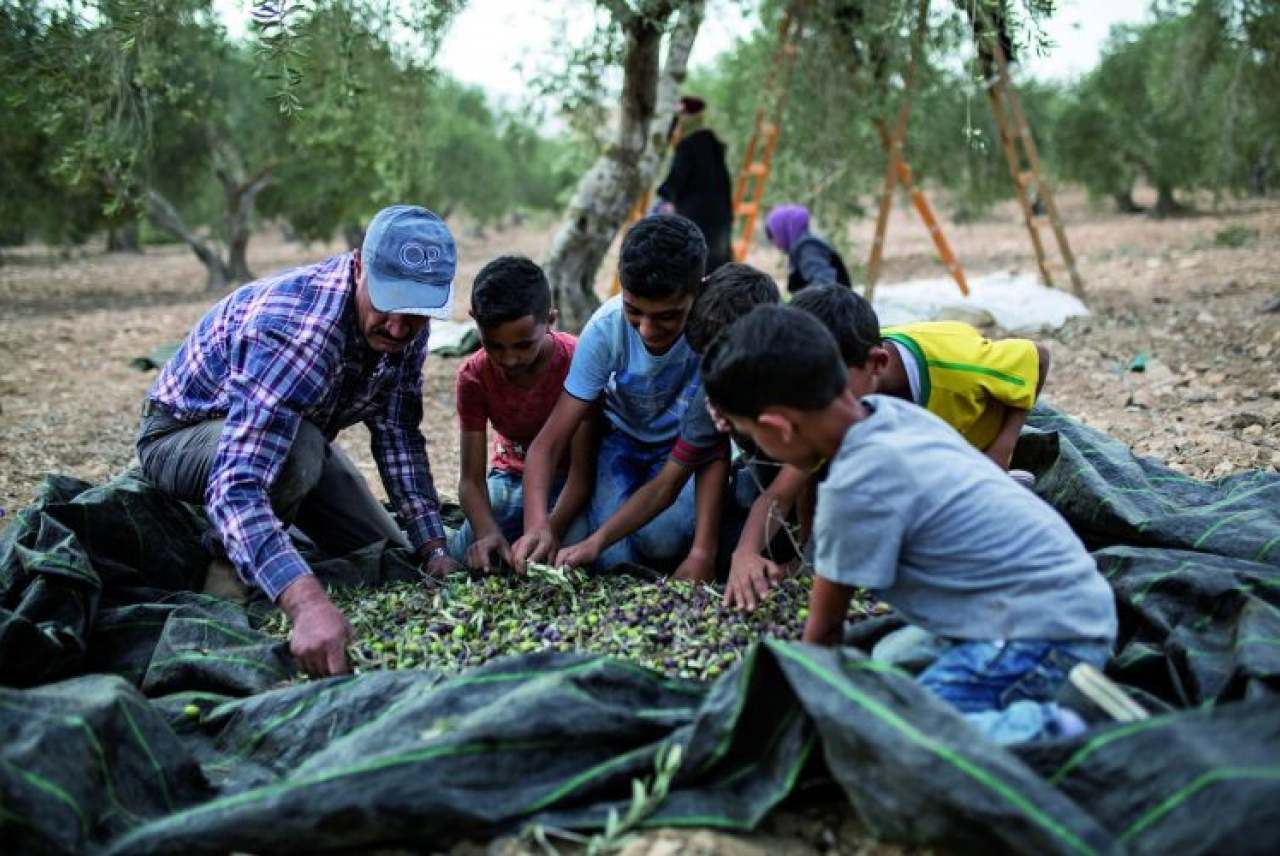 Image: Palestinian family picking olives