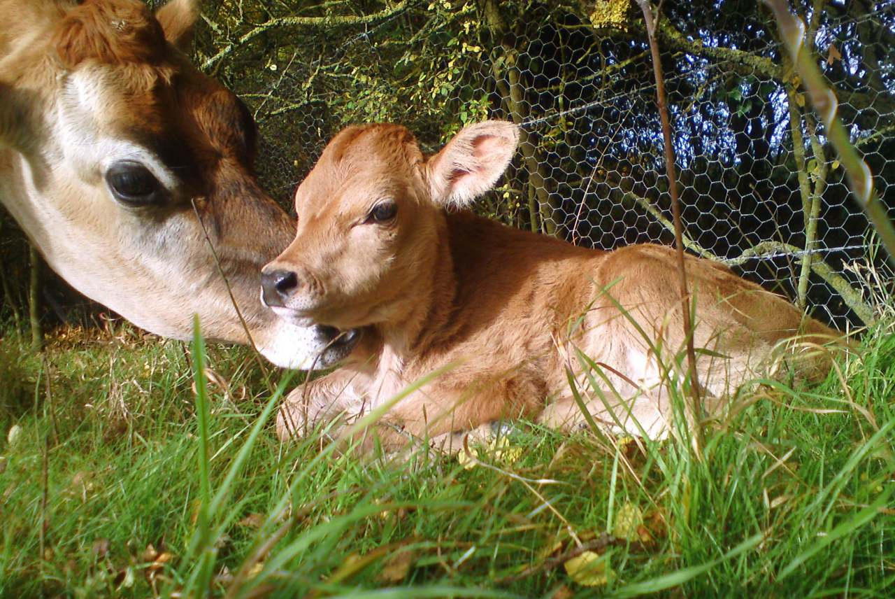 image: mother cow with calf alternative dairy