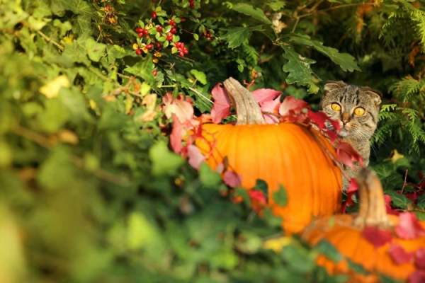 image: tabby cat with pumpkin could a cat be vegetarian ethical consumer